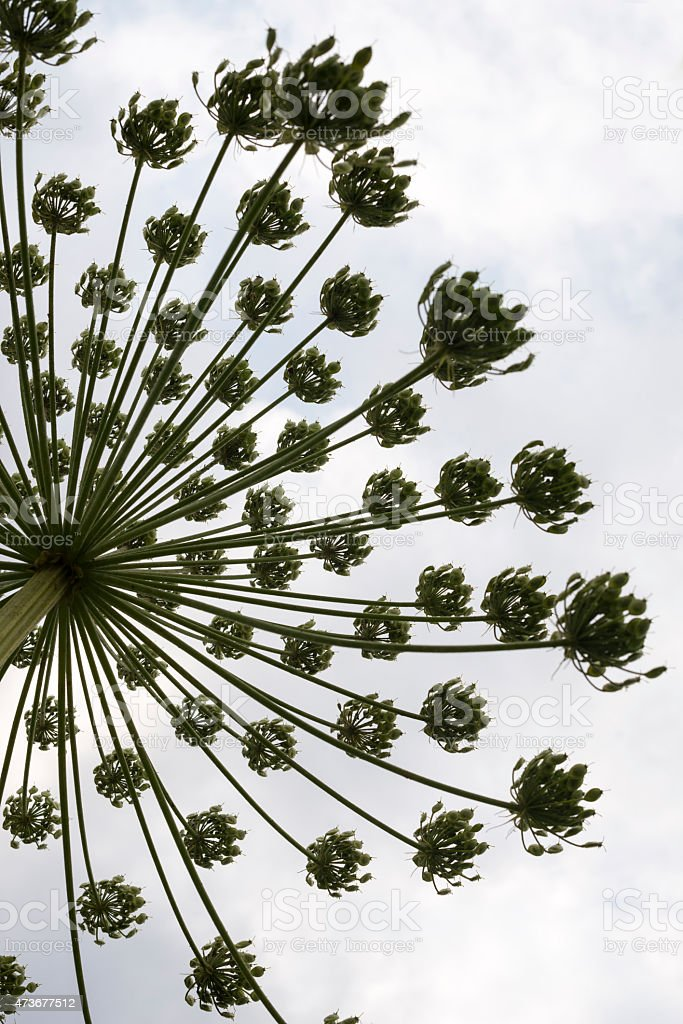 Umbel with seeds of the hogweed foto