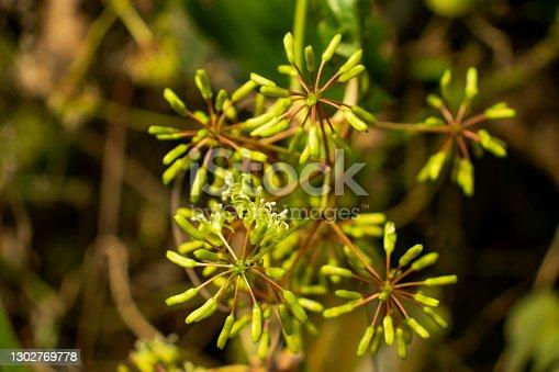 Umbelliferae, Apiaceae or Rough Chervil, Chaerophyllum temulum temulentum that is a wild tree