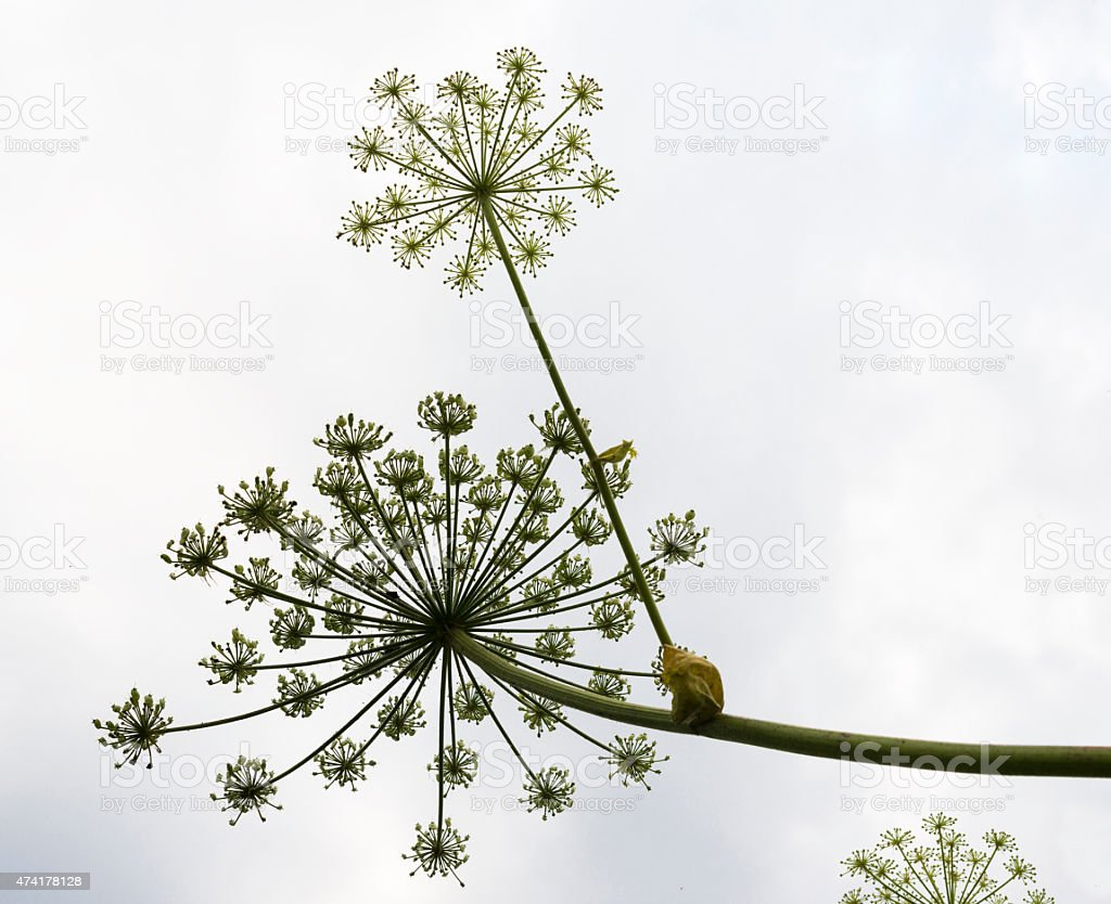Umbels with seeds of the hogweed foto