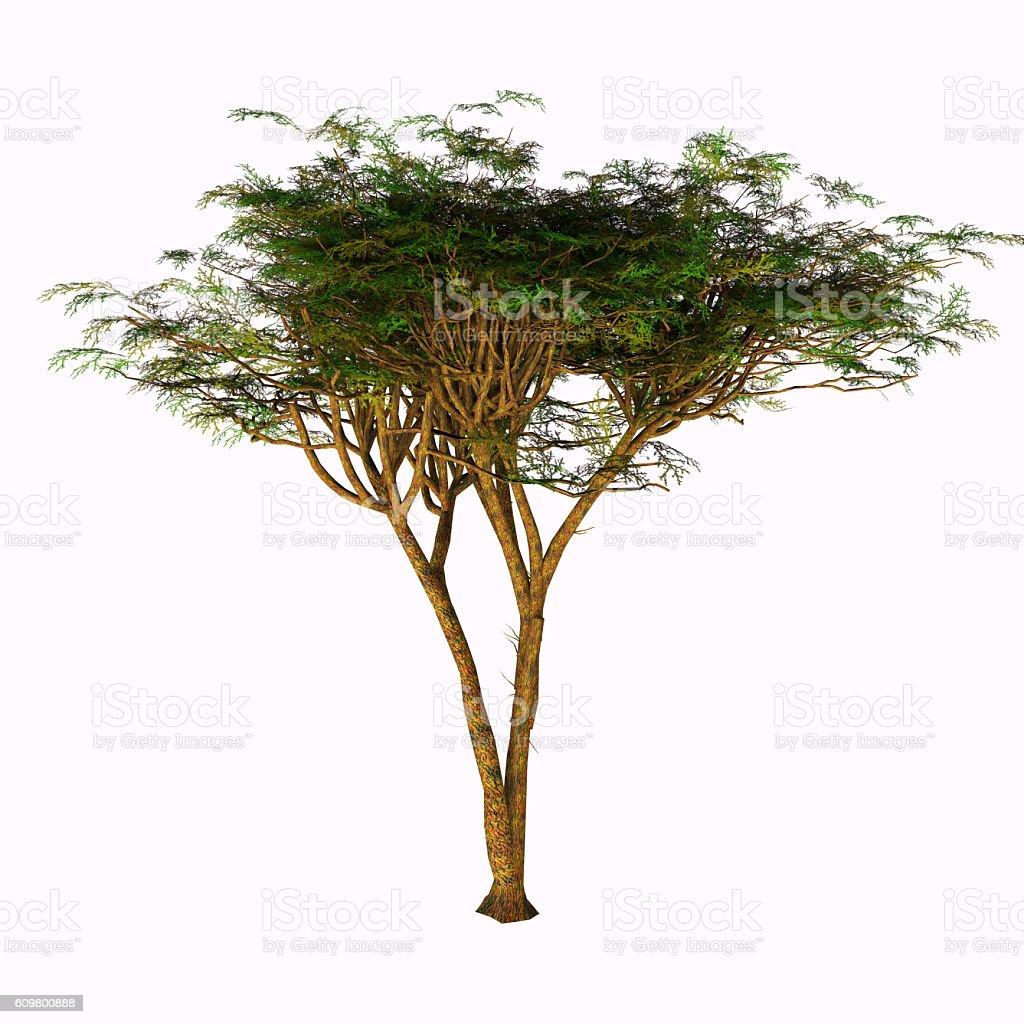 Umbrella Acacia Tree stock photo