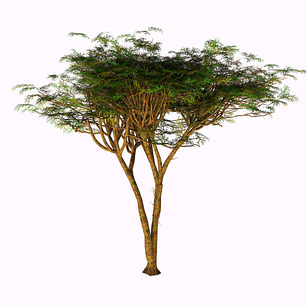 Umbrella Acacia Tree stock photo