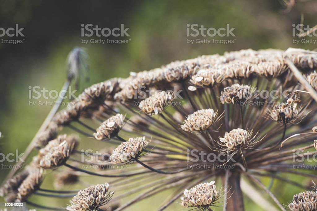 umbrella dry cow-parsnip on a background of green grass stock photo