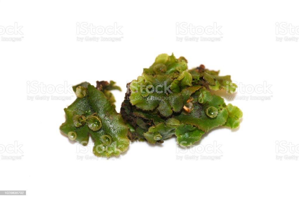 Umbrella liverwort Marchantia polymorpha stock photo