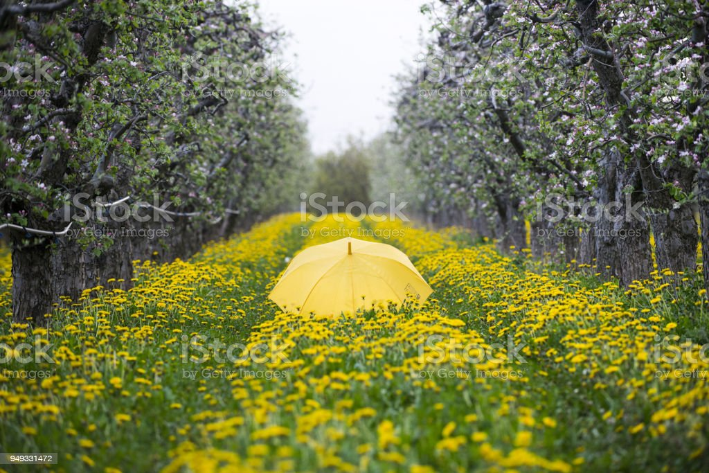 umbrella on blossoming apple orchard with dandelions, spring concept stock photo
