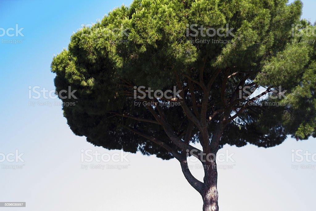 Umbrella Pine Tree, Rome stock photo