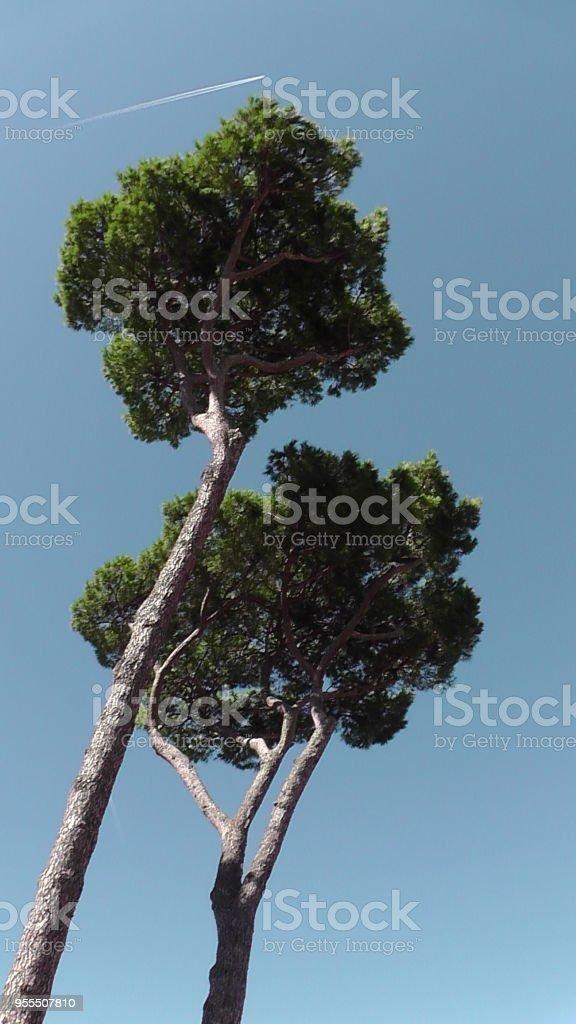 Umbrella Pine Trees, Rome, Italy stock photo