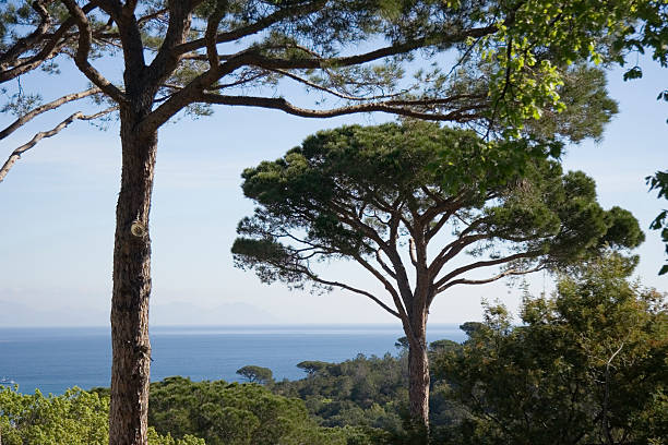 umbrella pines over the ocean French Riviera - adobe RGB cusp stock pictures, royalty-free photos & images