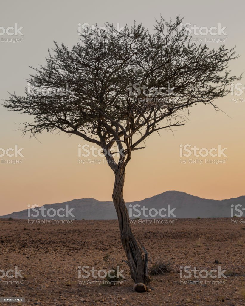 Umbrella Thorn Acacia At Sunset Stock Photo More Pictures Of