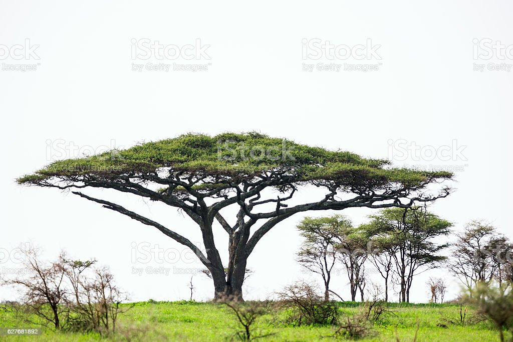 Umbrella Thorn Acacia Tree Stock Photo More Pictures Of Acacia