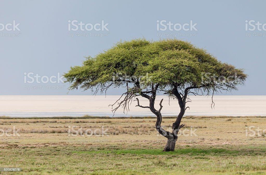 Umbrella Thorn Tree in Etosha NP, Namibia, Africa stock photo