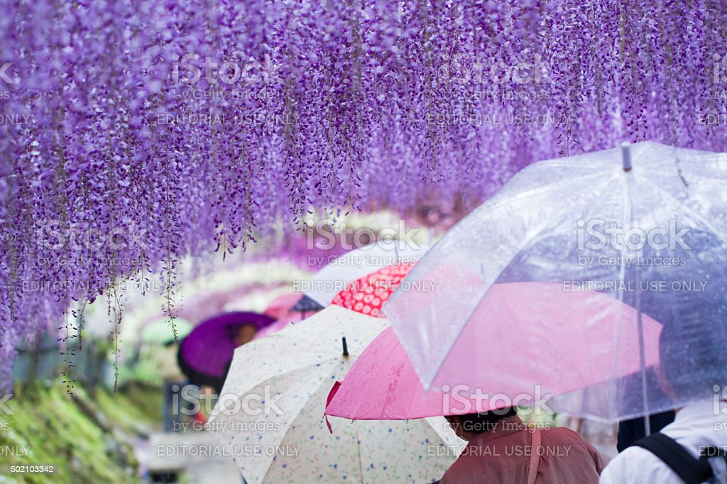 Umbrellas in the wisteria tunnel stock photo