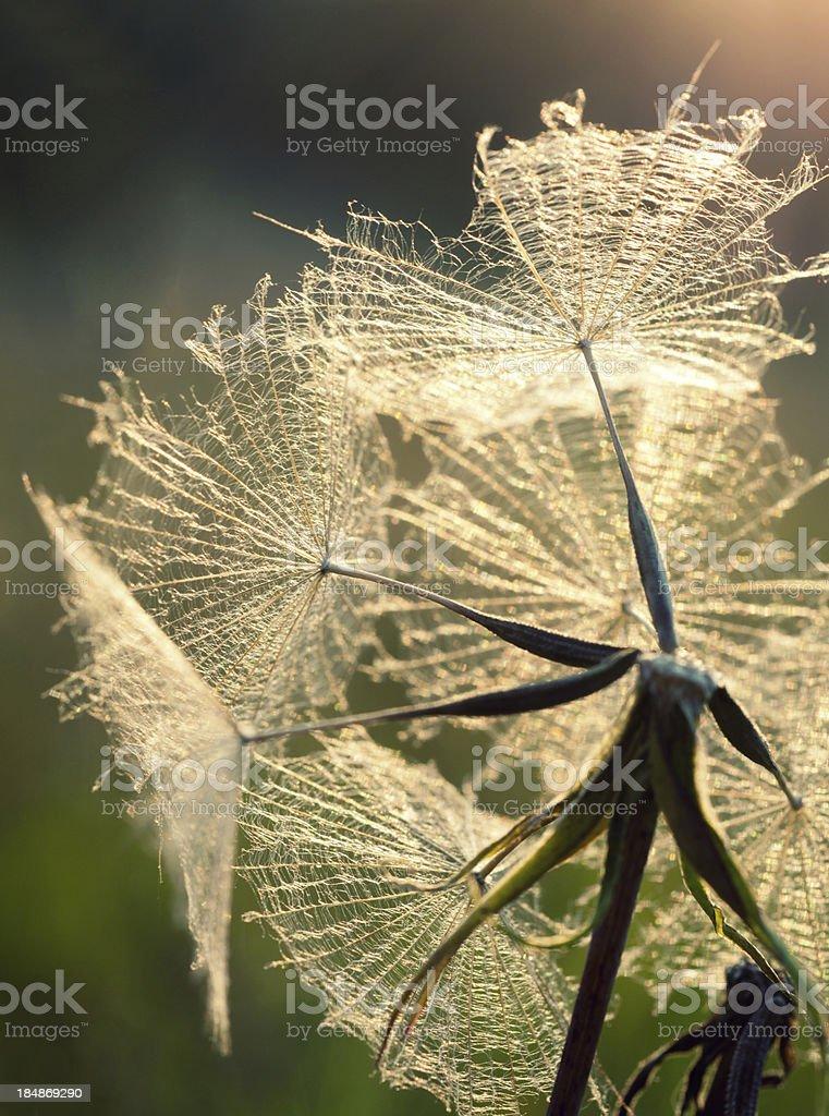 Umbrellas of meadow salsify royalty-free stock photo