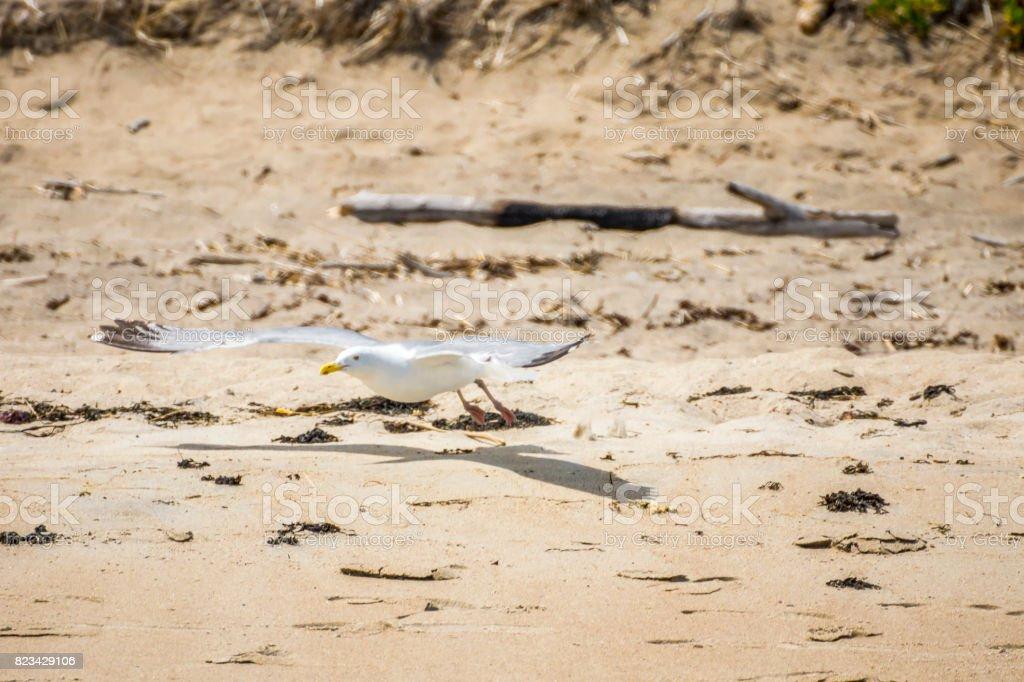 Un Goéland sur la plage stock photo