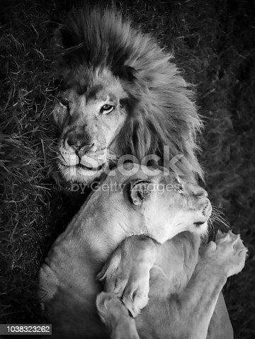 L'amore tra gli animali è qualcosa di unico in questa foto un leone abbraccia la sua leonessa stringendola a se.