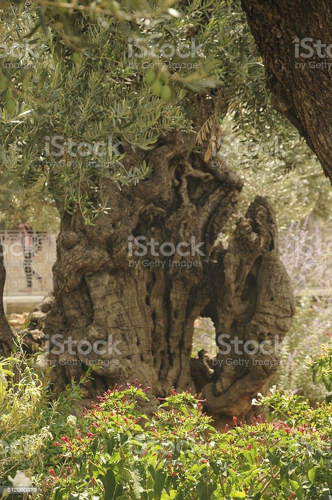 Un olivier dans le jardin de Gethsémani stock photo