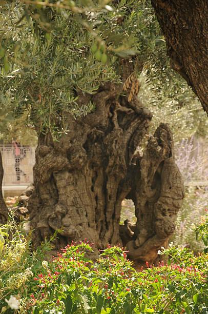 Un-olivier dans le jardin de Gethsémani – Foto