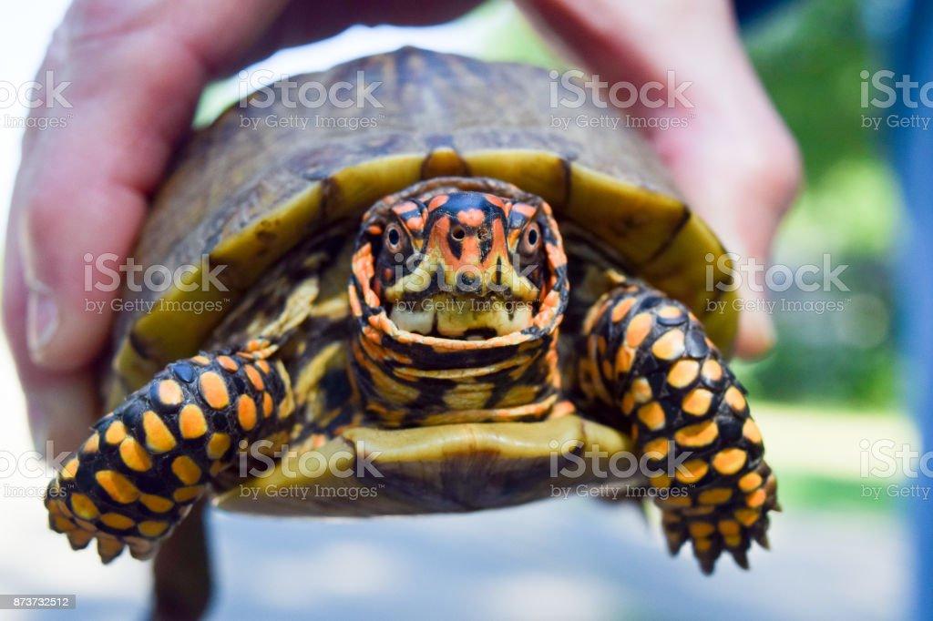 Unamused Box Turtle stock photo