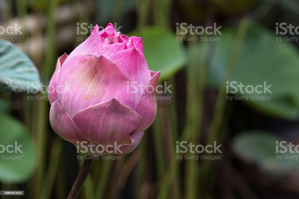 Unattractive bud lotus in the swam royalty-free stock photo