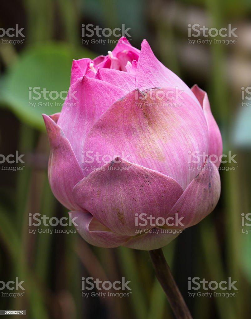Unattractive bud lotus in the swam /  Select focus royalty-free stock photo