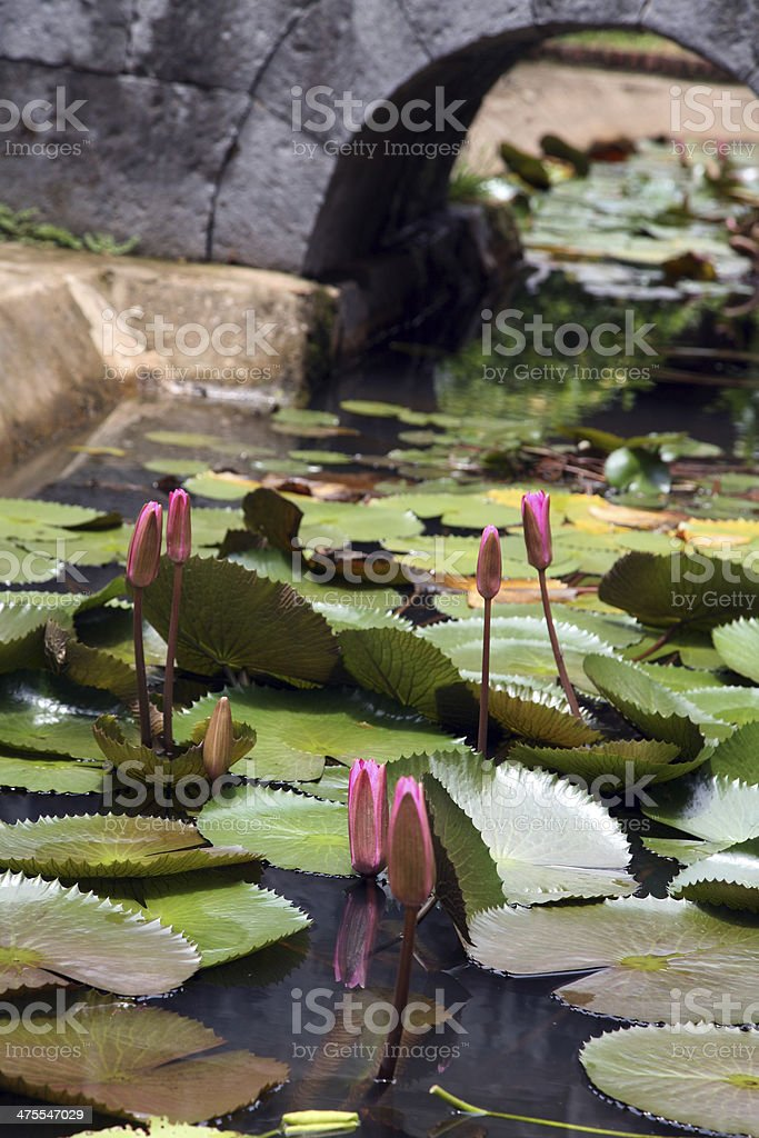 Unblown Pink Lotus in Water royalty-free stock photo