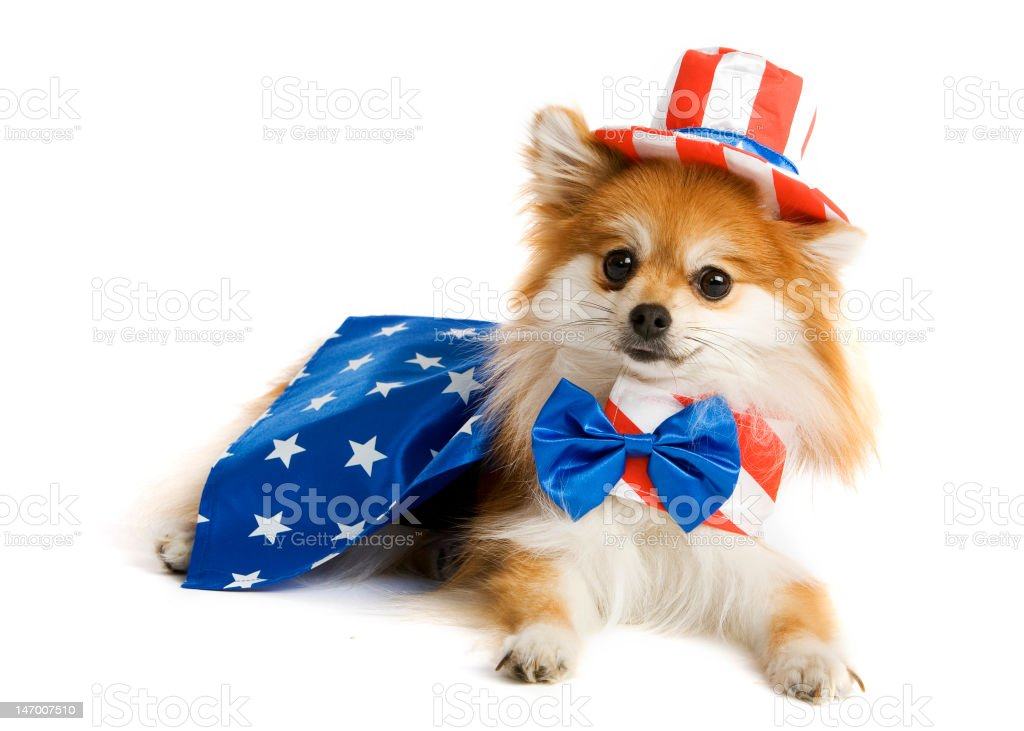 Uncle Sam Pup stock photo
