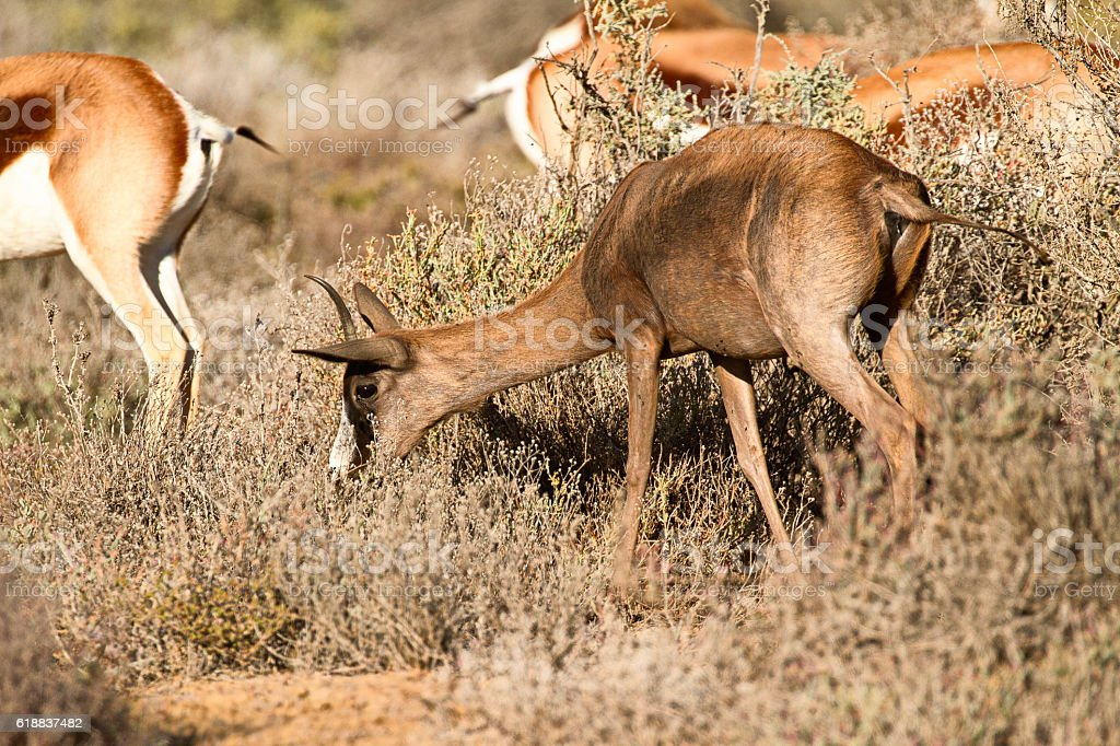 Uncommon black springbok in Karoo area, South Africa stock photo