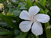 Uncommon found China Rose in white color!