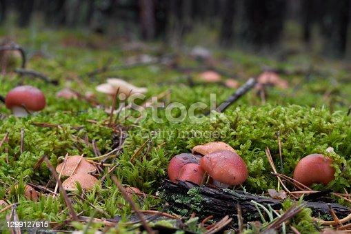 Gomphidius roseus