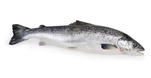 Uncooked fresh salmon on a white background Whole uncooked fresh salmon on a white background atlantic salmon stock pictures, royalty-free photos & images