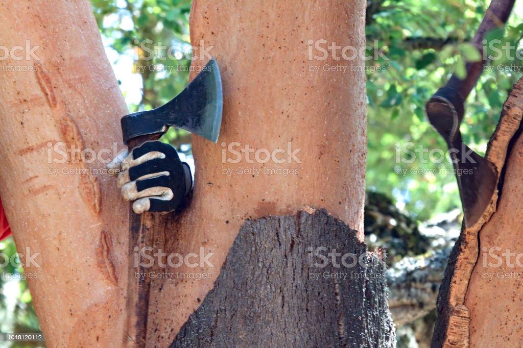 débouchage d'un chêne-liège avec une hache dans le domaine - Photo