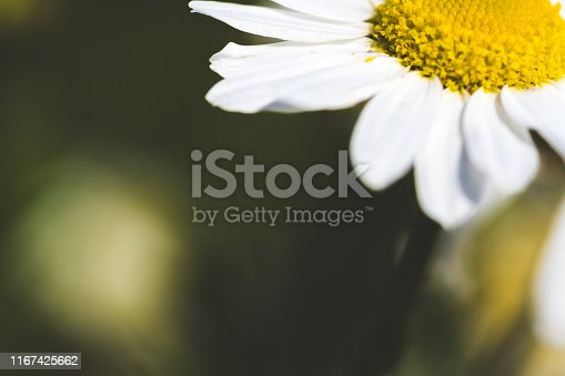 istock Uncultivated 'daisy' (Mayweed Sea) in bloom 1167425662
