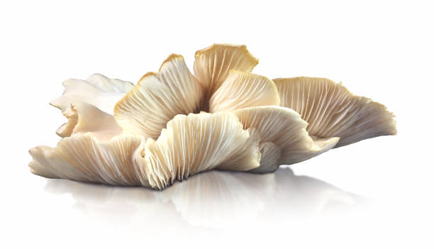 Uncultivated Edible Oyster Mushroom Growing Cut Out White BackgroundSavory Food A side view of a large white oyster mushroom (Pleurotus sp.) cut out on a white background with a reflection.  Found growing on a log in British Columbia, Canada, this healthy edible mushroom is used in alternative medicine to treat cancer, inflammation, and to lower cholesterol.  It is delicious savory ingredient in cooking. mushrooms: oyster mushrooms isolated on white background stock pictures, royalty-free photos & images