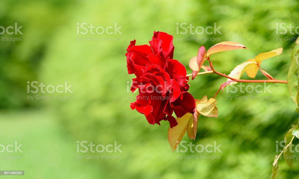 Uncultivated red rose pointing left, summers day Lizenzfreies stock-foto