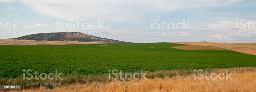 Uncut Alfalfa field in Montana United States stock photo