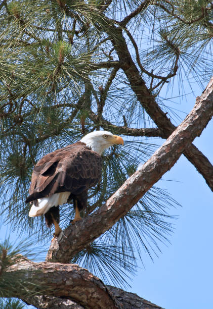Under a clear blue sky we see an American Bald Eagle perched in a Pine Tree in Kissimmee, Florida