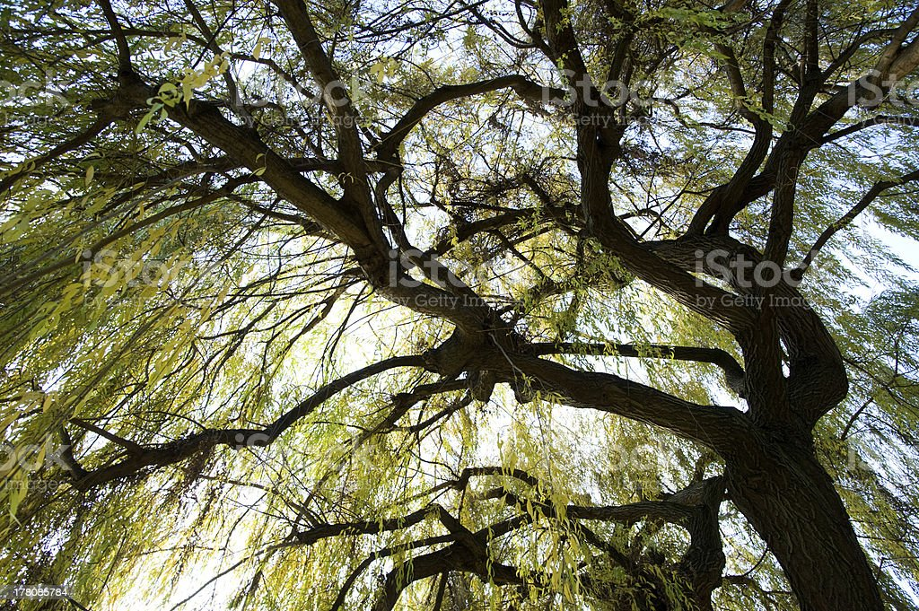under a weeping willow royalty-free stock photo