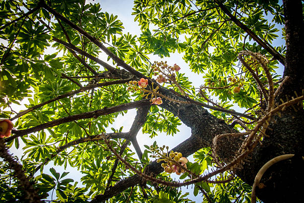 under Cannonball Tree flowers (Couroupita guianensis) stock photo