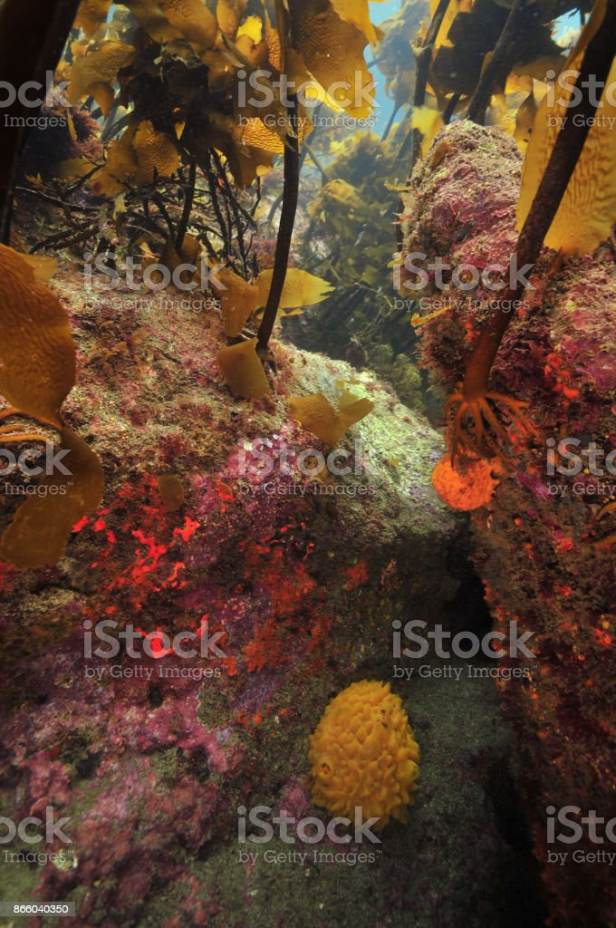 Under kelp canopy stock photo