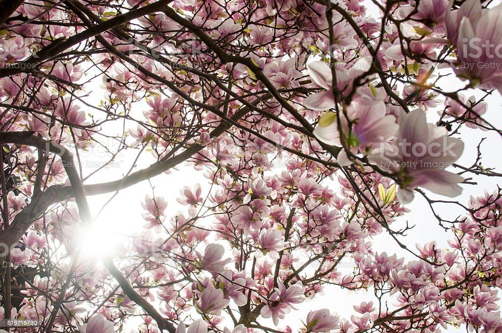 Under magnolia tree stock photo