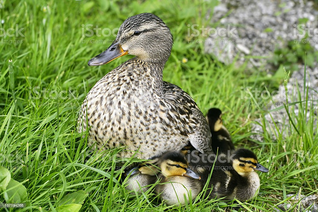 Under mother's wing royalty-free stock photo