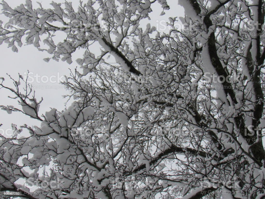 Under Snow Covered Tree Branches stock photo