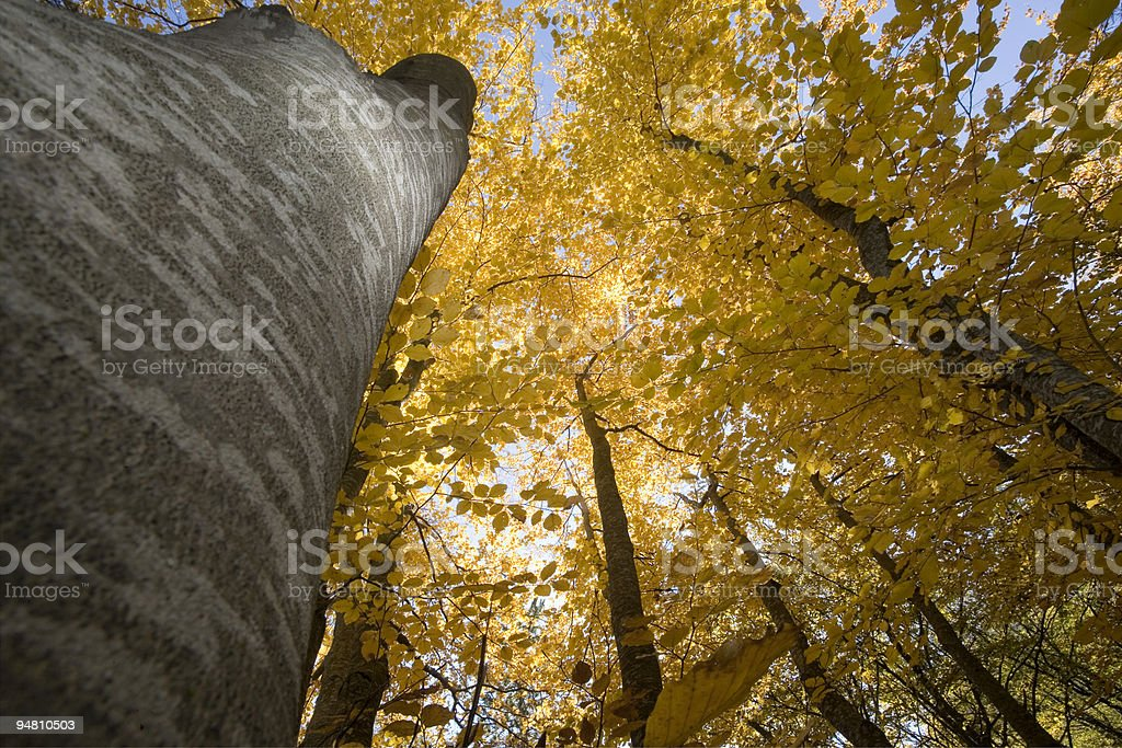 under the beech trees royalty-free stock photo