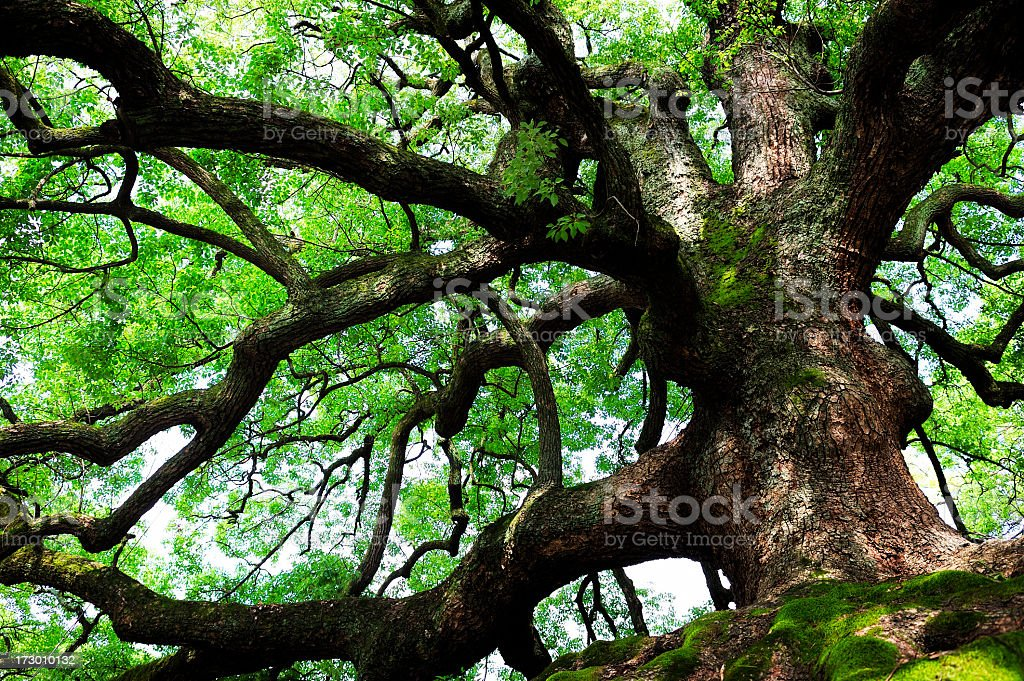 Under the canopy of a large oak tree royalty-free stock photo