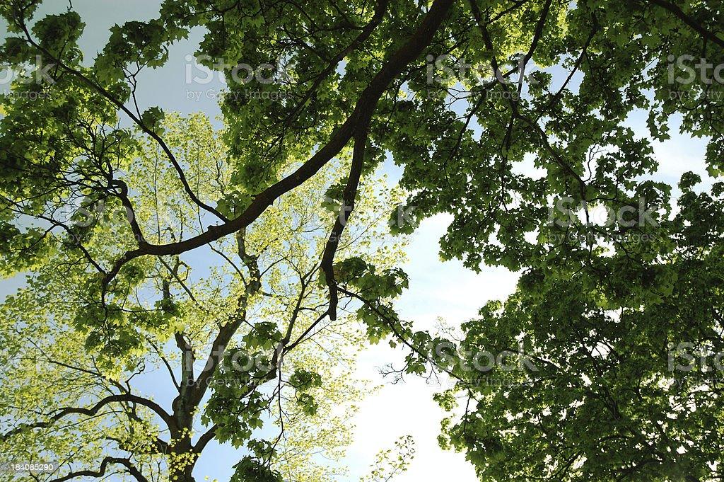 Under the Poplars royalty-free stock photo