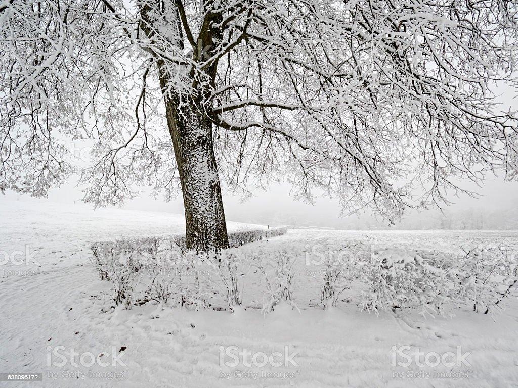 Under the snow covered lime tree, unter der verschneiten Linde stock photo