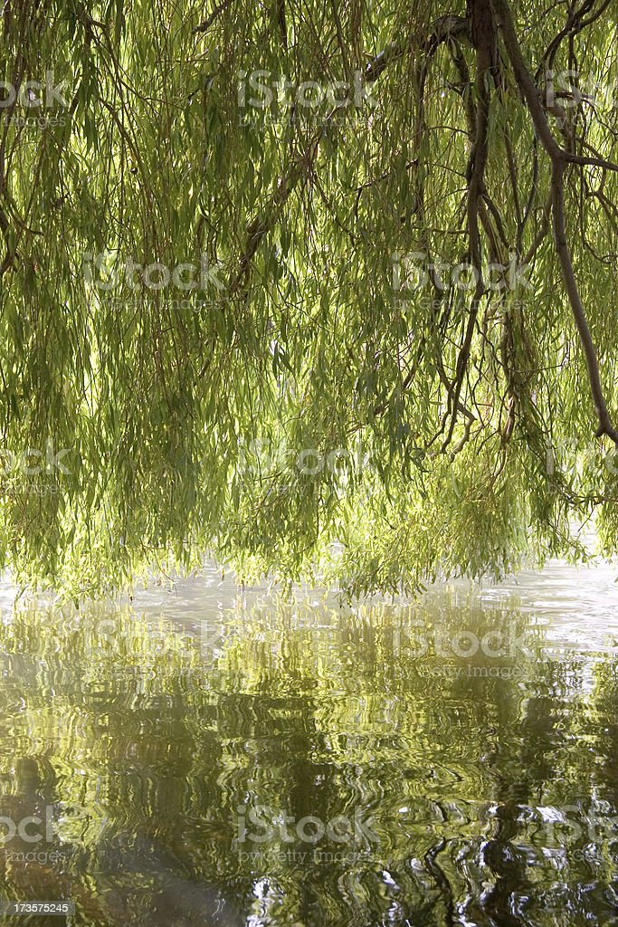 Underneath a willow tree stock photo