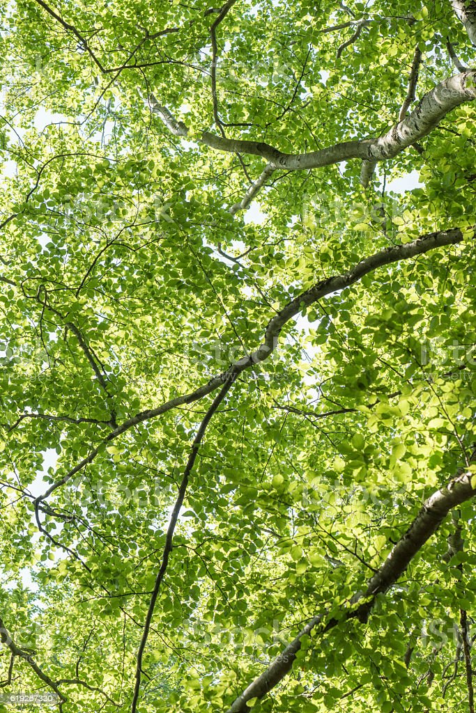 Underneath large beech trees royalty-free stock photo