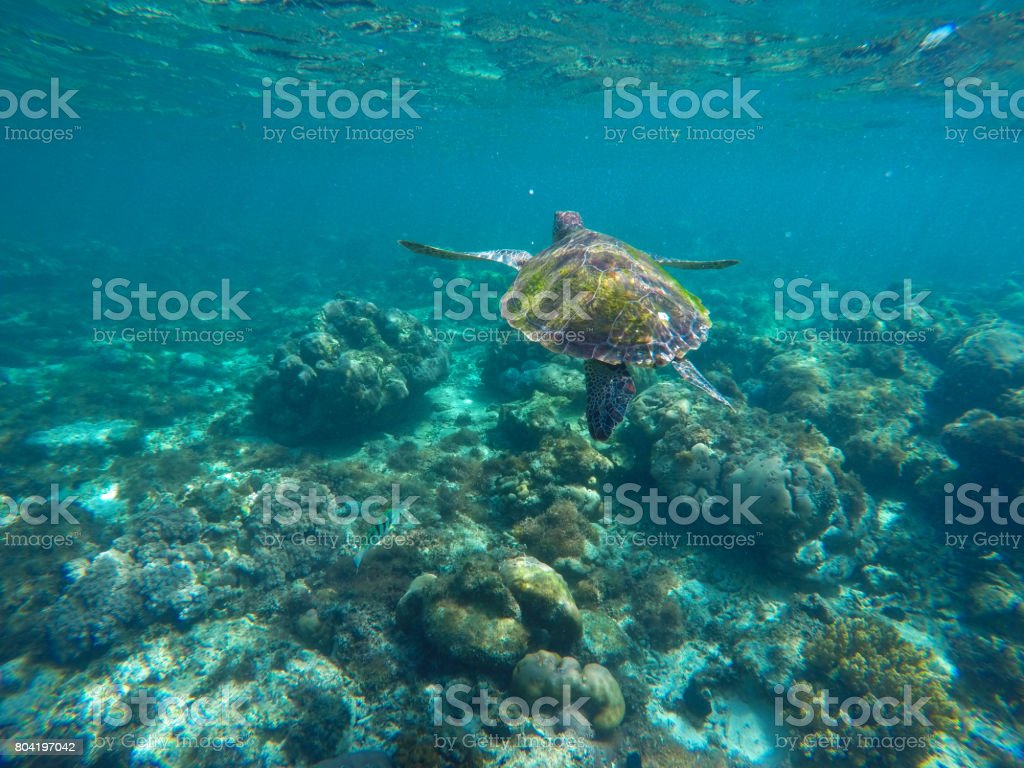 undersea image of sea turtle in coral reef for banner template stock