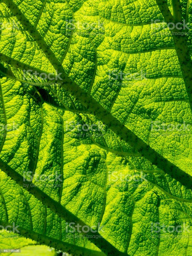 Underside of a Gunnera leaf full frame background texture