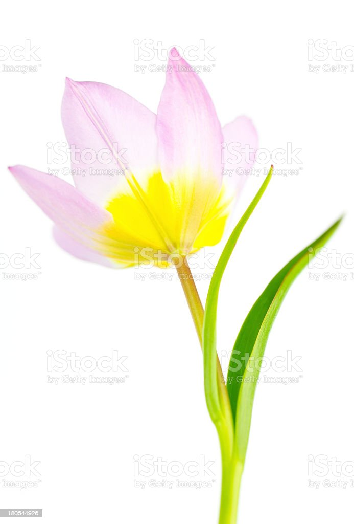 Underside of pink and yellw species tulip. royalty-free stock photo